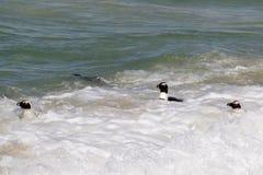 Pinguins na água fotografia de stock