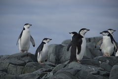 Pinguins na costa foto de stock royalty free