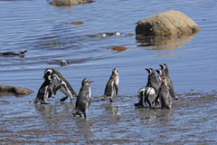 Pinguins na costa no Patagonia imagem de stock