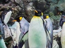 Pinguins na geleira artificial no parque Loro Parque de Loro, Tenerife, Ilhas Can?rias, Espanha foto de stock