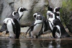 Pinguins na harmonia foto de stock