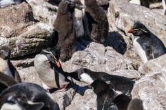 Pinguins na ilha de Westpoint, as Malvinas de Rockhopper imagens de stock
