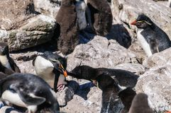 Pinguins na ilha de Westpoint, as Malvinas de Rockhopper fotografia de stock royalty free