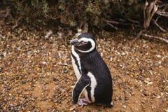 Pinguins na península de valdes Argentina do Patagonia, pinguim de Magellanic fotos de stock royalty free