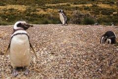 Pinguins na península de valdes Argentina do Patagonia, pinguim de Magellanic foto de stock