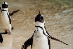 Pinguins na praia fotos de stock