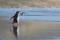 Pinguins na praia Fotografia de Stock