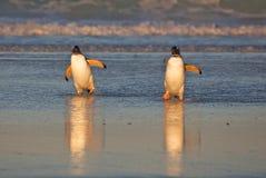 Pinguins na praia Imagens de Stock Royalty Free