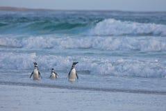 Pinguins na praia Fotografia de Stock Royalty Free
