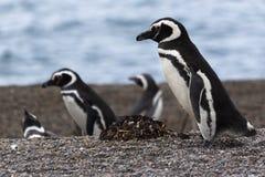 Pinguins na praia imagens de stock