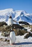 Pinguins na rocha foto de stock royalty free