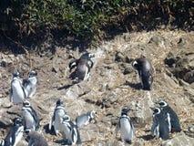 Pinguins nel punihuil di prenotazione sull'isola del chiloe in peperoncino rosso Fotografia Stock