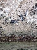 Pinguins nel punihuil di prenotazione sull'isola del chiloe in peperoncino rosso Fotografie Stock Libere da Diritti