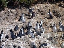 Pinguins nel punihuil di prenotazione sull'isola del chiloe in peperoncino rosso Immagini Stock Libere da Diritti