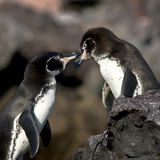 Pinguins no amor Fotografia de Stock Royalty Free