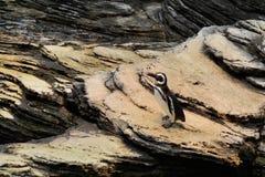 Pinguins no aquário foto de stock royalty free