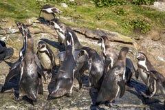 Pinguins no aquário de Alesund foto de stock royalty free