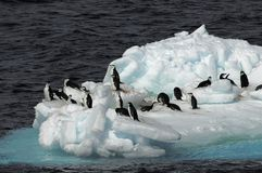 Pinguins no floe de gelo Imagem de Stock Royalty Free