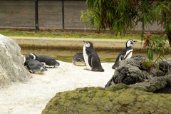 Pinguins no jardim zoológico fotografia de stock royalty free