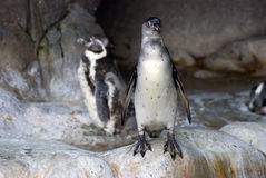 Pinguins no jardim zoológico imagem de stock royalty free