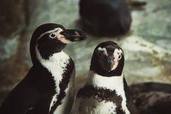Pinguins no jardim zoológico de Moscou imagens de stock royalty free