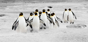Pinguins no movimento Foto de Stock Royalty Free