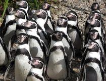 Pinguins no sunbath imagem de stock