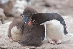 Pinguins novos Fotos de Stock Royalty Free