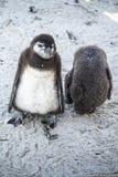 Pinguins novos na praia imagens de stock royalty free