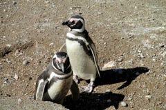 Pinguins op de stenen van het kiezelsteenstrand Stock Foto