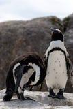 Pinguins Paare Lizenzfreies Stockbild