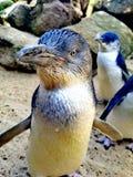 Pinguins pequenos imagem de stock