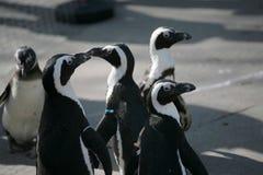 Pinguins pequenos fotografia de stock royalty free