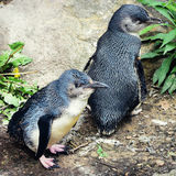 Pinguins pequenos foto de stock royalty free