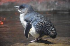 Pinguins pequenos fotografia de stock