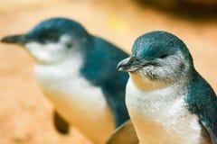 Pinguins pequenos imagens de stock royalty free