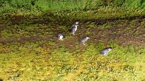Pinguins pequenos moventes na noite em Phillip Island, Victoria - Au foto de stock royalty free