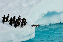 Pinguins prontos para saltar Imagens de Stock