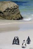 Pinguins pstos em perigo do cabo imagem de stock