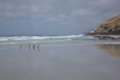 Pinguins que andam em uma praia Imagens de Stock