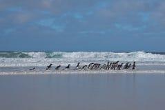 Pinguins que andam em uma praia Fotos de Stock