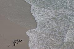 Pinguins que andam na praia Fotos de Stock