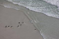 Pinguins que andam na praia Fotografia de Stock