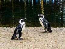 Pinguins que estão no lado da água e que passam-se perto, specie posto em perigo do pássaro da costa de África foto de stock