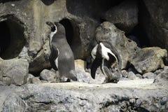 Pinguins que estão pela caverna Fotos de Stock Royalty Free