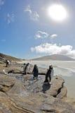 Pinguins que exporem-se ao sol em um afloramento de rocha Fotografia de Stock