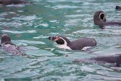 Pinguins que nadam no jardim zoológico imagem de stock royalty free