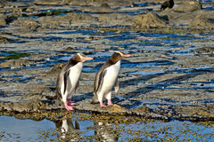 Pinguins que nivelam a caminhada Fotos de Stock