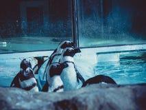 Pinguins que olham a algo sobre em algum lugar fotografia de stock