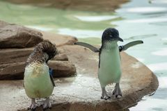 Pinguins que t?m o divertimento imagem de stock royalty free